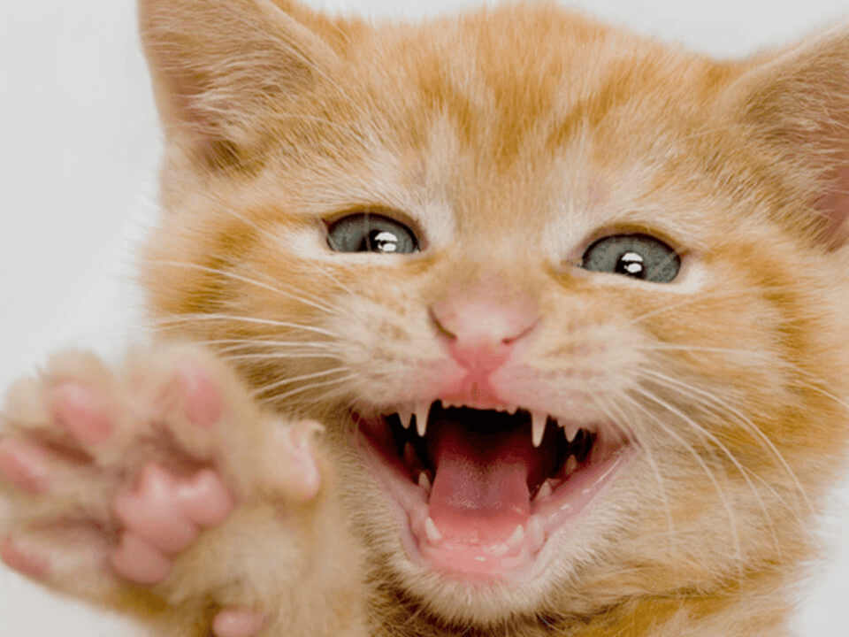 Three Steps to Give Your Cat a Healthy Smile