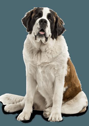Nourriture sèche pour chiens âgés de grande race