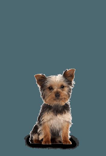 Nourriture sèche pour chiens âgés de petite race