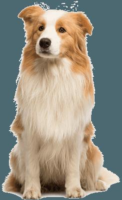 Nourriture sèche pour chiens adultes