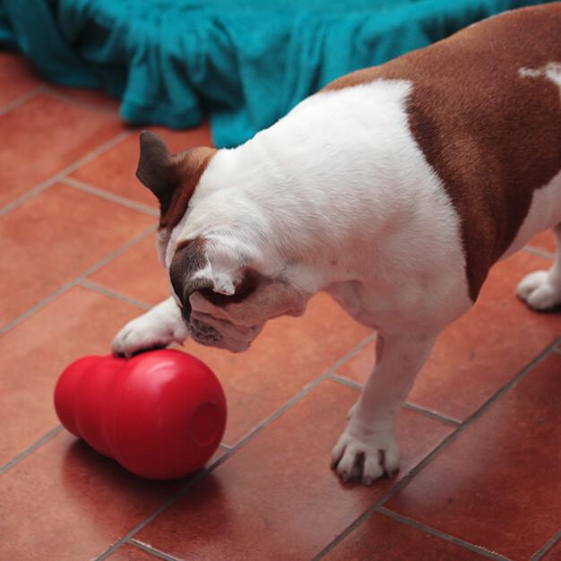 Hund spielt mit Hundespielzeug