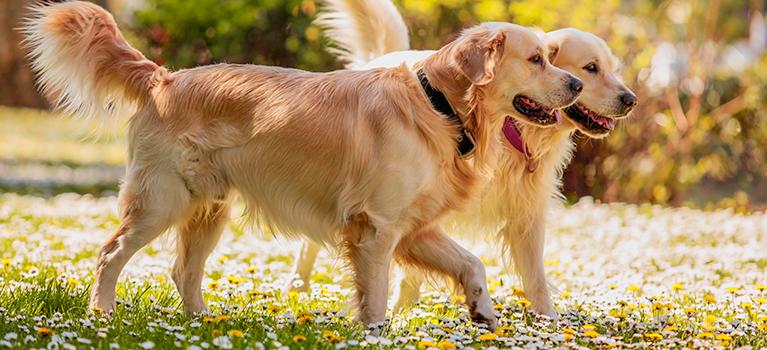 Einen erwachsenen Hund sozialisieren: Pfote für Pfote die Welt erobern