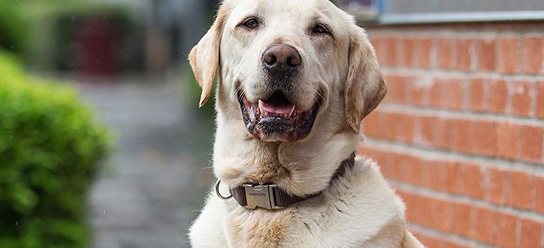 Quels sont les avantages d'accueillir un chien adulte?