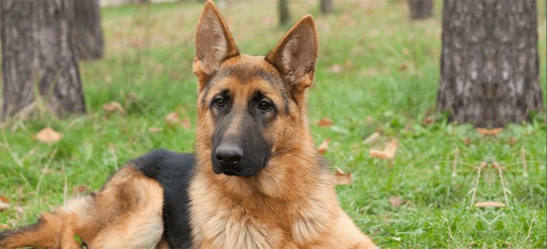 Adopcja psa policyjnego - jak wyglądają formalności i opieka nad psem?