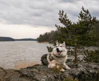 Alaskan malamute – charakter, cena, opis rasy
