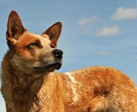 Australian cattle dog – charakter, cena, opis rasy