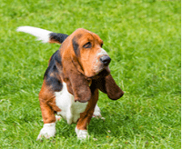 Basset hound – charakter, cena, opis rasy