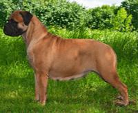 Bullmastiff – charakter, cena, opis rasy