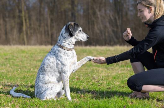 Czy można nauczyć starszego psa nowych sztuczek?