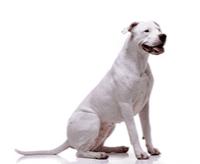 Dog argentyński – charakter, cena, opis rasy