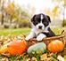 Dynia dla psa - czy psy mogą jeść dynię?