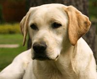 Labrador retriever – charakter, cena, opis rasy