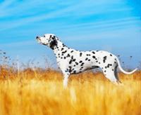 Dalmatyńczyk – charakter, cena, opis rasy