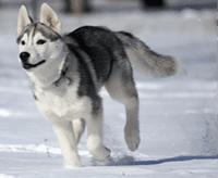 Siberian husky (husky syberyjski)
