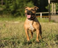 Staffordshire bull terrier – charakter, cena, opis rasy