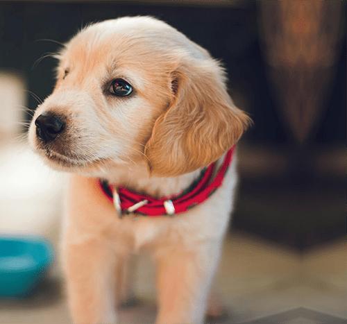 Domowe jedzenie dla psa – gotować czy nie?