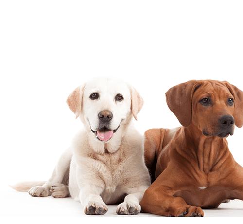 Drugi pies w domu – jak oswoić ze sobą nowych współlokatorów?