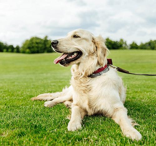Agresja u psa – jak sobie z nią radzić? Co ją powoduje?
