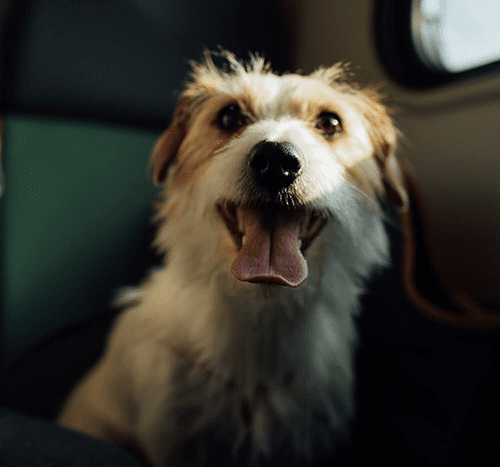 Pies w samolocie – jak przygotować zwierzę do lotu?