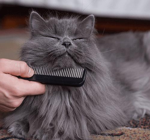Czy powinno się strzyc kota?