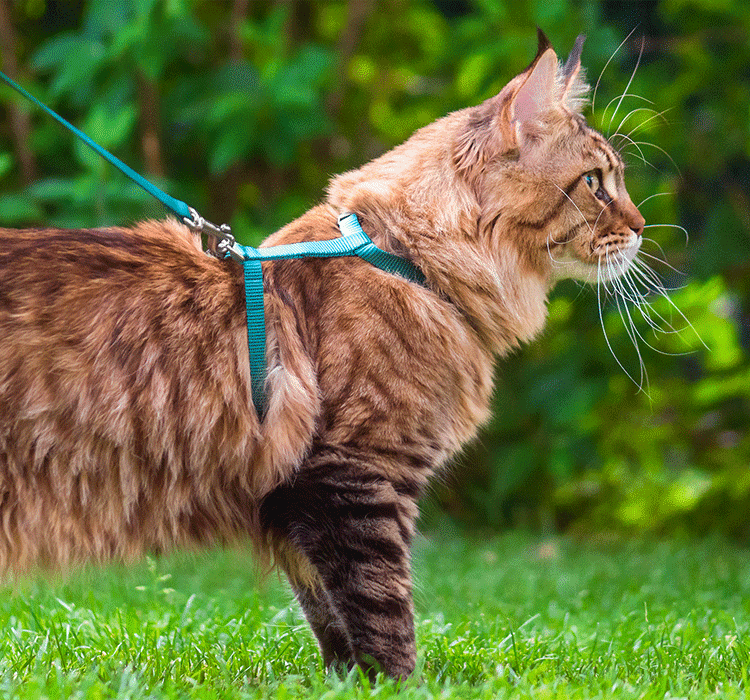 HOW TO TAKE YOUR CAT FOR A WALK USING A HARNESS & LEAD