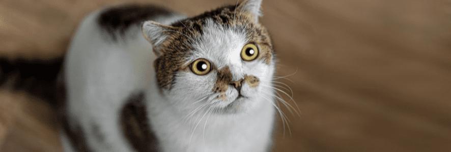 Jak odchudzić kota? Sprawdź, jak opiekować się kotem, by zrzucił zbędne kilogramy