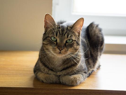 BARF dla kota - czy dieta, oparta na surowym mięsie, jest dobrym pomysłem?