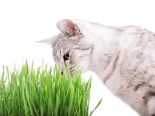 Kocimiętka dla kota - jaki ma wpływ na kota?