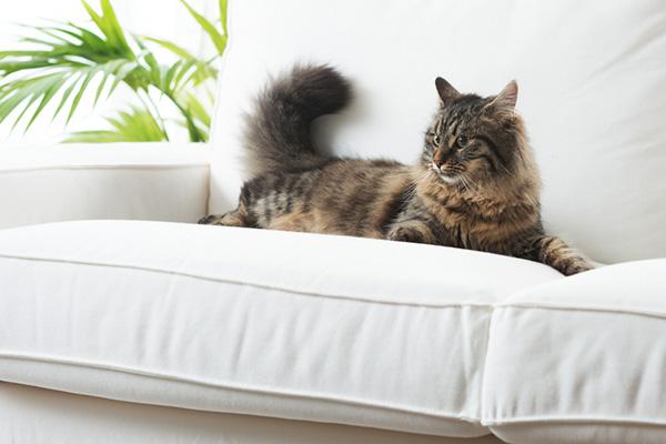 Kot z włosami zamiast sierści? Czy istnieją rasy odpowiednie dla alergików?
