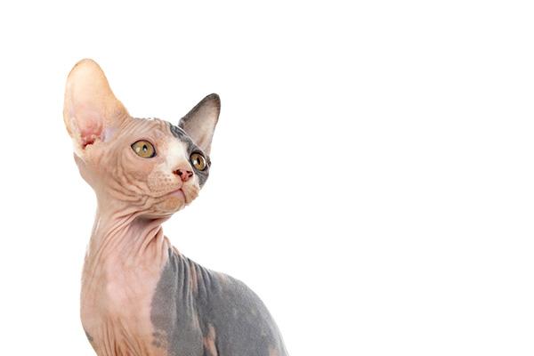 Koty bez sierści – poznaj najpopularniejsze rasy