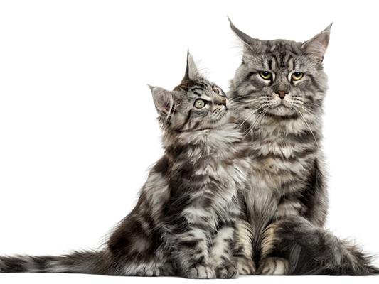 Mleko dla kota - czy nasz pupil powinien je pić?