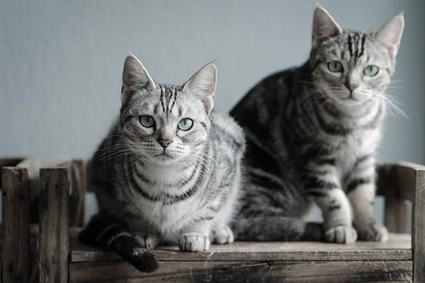 Drugi kot w domu – jak dobrze przeprowadzić proces wprowadzania do rodziny drugiego mruczka?