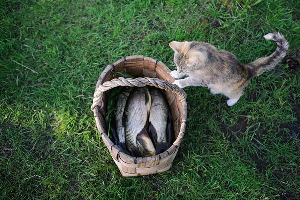 Jaka ryba dla kota? Czy kot może jeść każdy gatunek ryb?