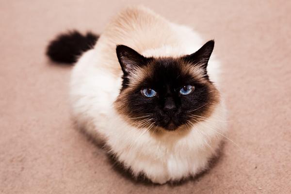 Kot birmański – cena, charakter, pielęgnacja