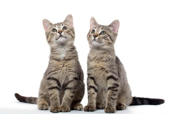 Kot czy kotka? Jak rozpoznać płeć kota?