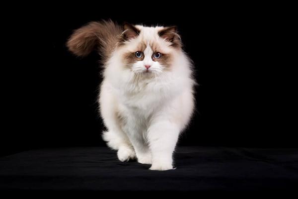 Kot rasy ragdoll – charakter, pielęgnacja, cena