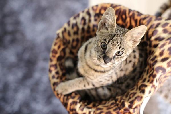 Najdroższe koty – które rasy kotów kosztują najwięcej?