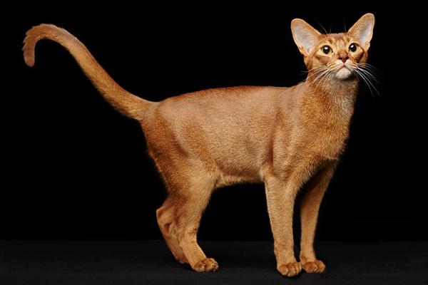 Kot abisyński – cena, charakter, pielęgnacja