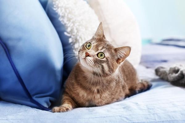 Waleriana dla kota – alternatywa dla kocimiętki?