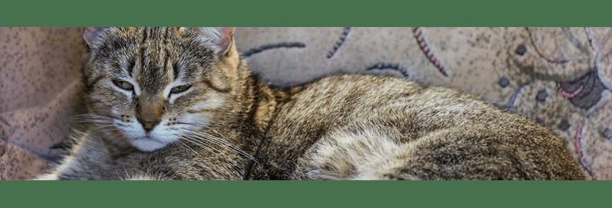 """Wiecznie głodny kot - czyli czym jest """"syndrom głodu"""" u kota?"""