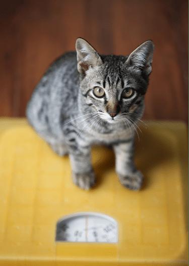 Berat badan kucingmu