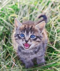 """Bunyi-bunyi yang Dihasilkan oleh Anak Kucing:   Mengeluarkan bunyi """"Meow""""dan """"Purr"""""""