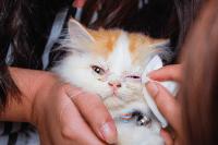 Anak Kucing Terjangkit Selsema