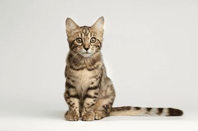 Cara untuk Melatih Anak Kucing Anda
