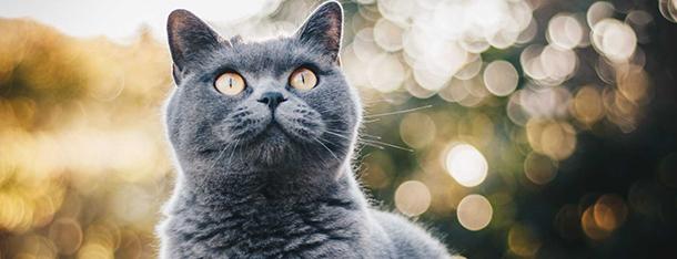 Co jedzą koty brytyjskie? Czy ich dieta powinna różnić się od zwykłego dachowca?