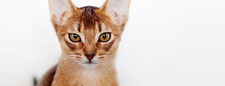Domowe jedzenie dla kota czy gotowe saszetki? Co wybrać?