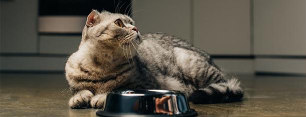 Ile kot powinien jeść? Poradnik jak karmić, ale nie przekarmić kota