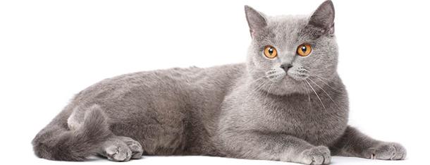 Jak długo rośnie kot brytyjski?