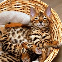 Kot bengalski – cena, charakter, pielęgnacja