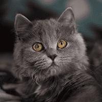 Kot brytyjski długowłosy – cena, charakter, pielęgnacja